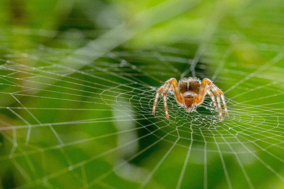 Садовый паук