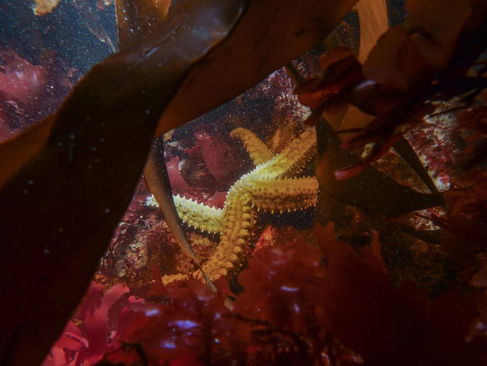 Колючая морская звезда