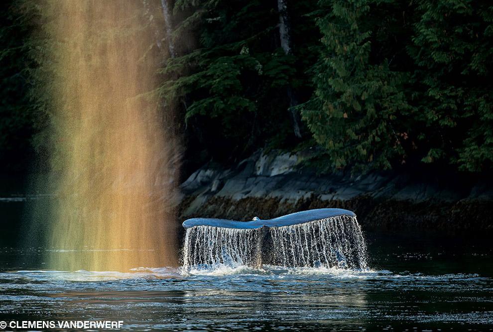 Горбатый кит в Британской Колумбии