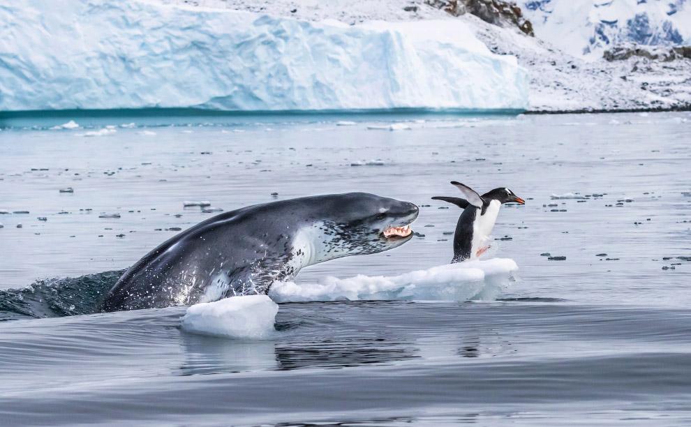 Бегство пингвина от морского леопарда