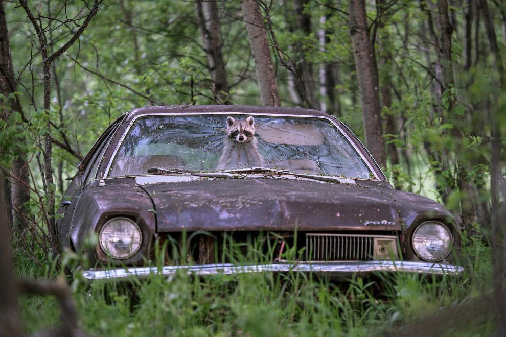Игривый енот высовывает мордочку из заброшенного Ford Pinto 1970-х годов
