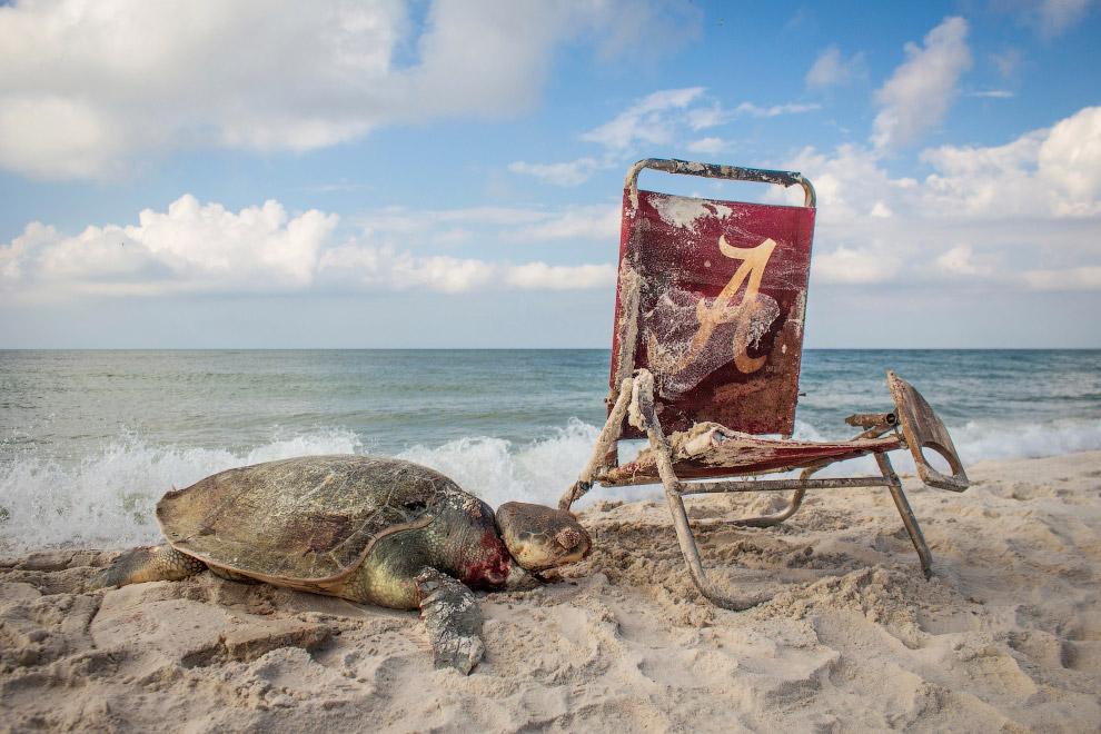 Черепаха, запутавшаяся в веревке от старого шезлонга на пляже в Алабаме