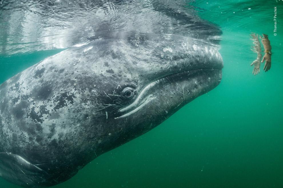 Любопытный серый кит и человек