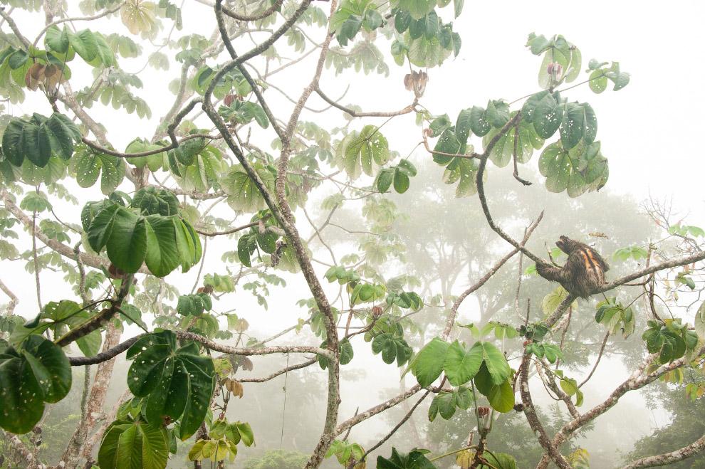 Ленивец на дереве