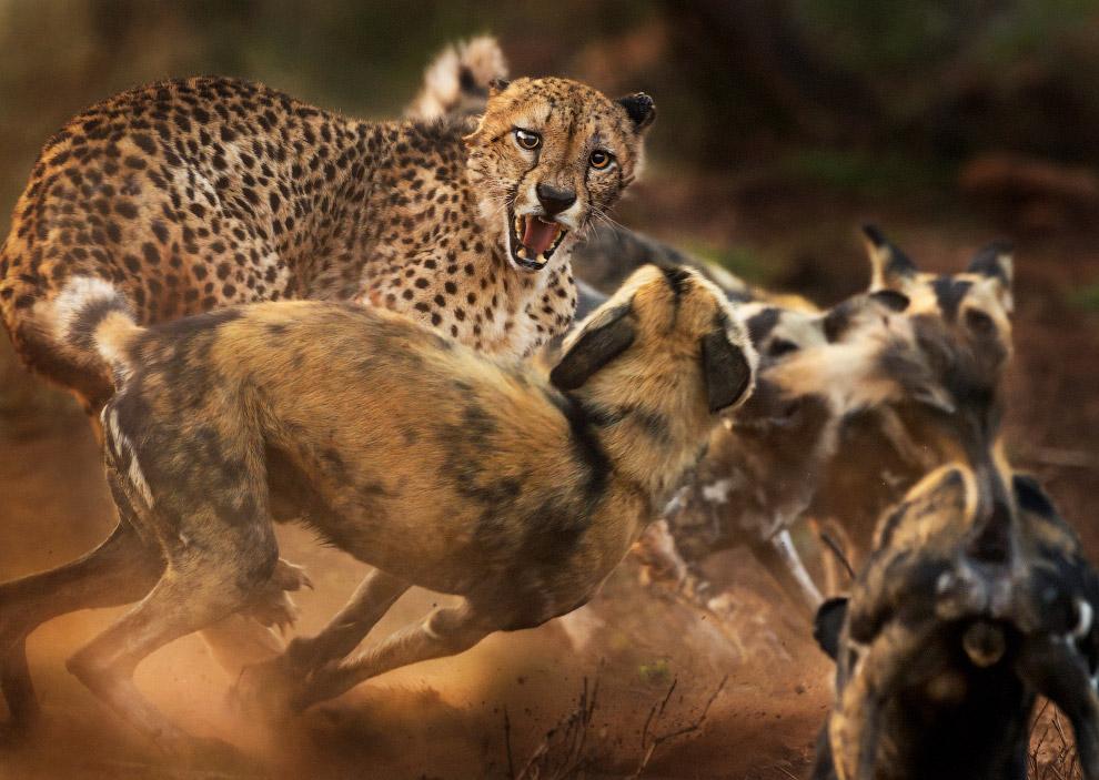 Гепард отбивается от стаи собак