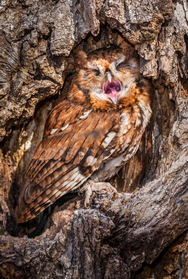 Зевающая сова