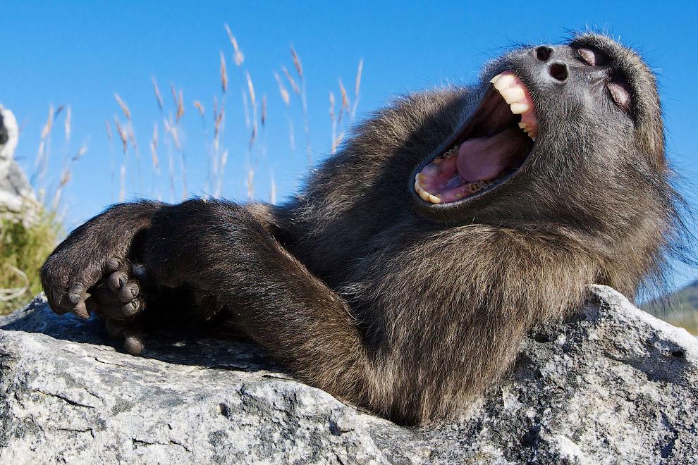Медвежий павиан