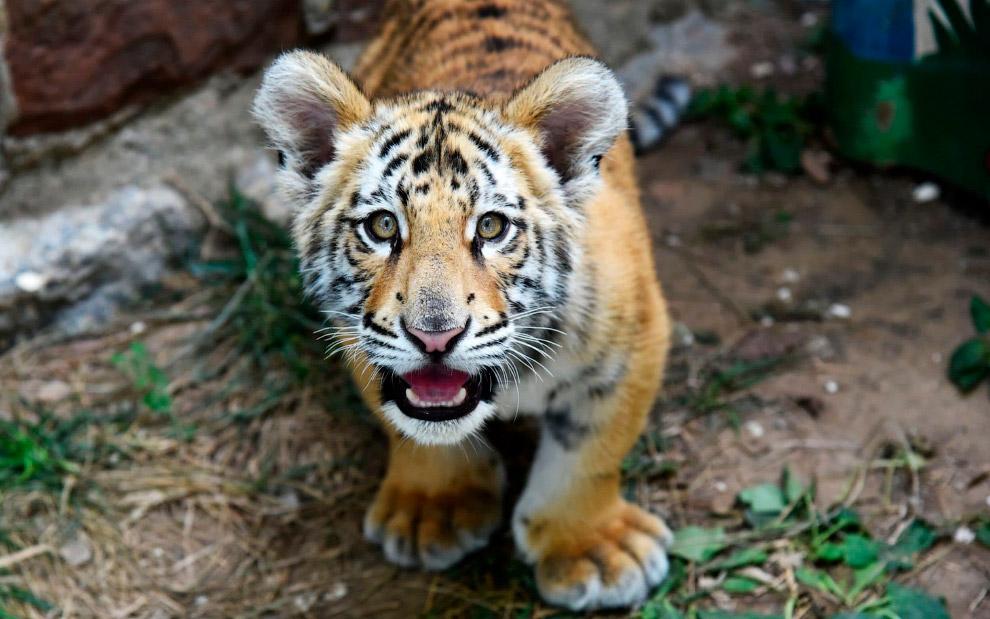 Бенгальский тигренок в зоопарке в городе Цзинань