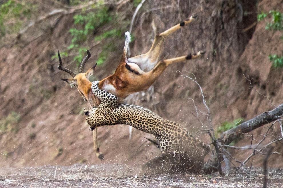 Мастера охоты. Леопард ловит импалу в Ботсване