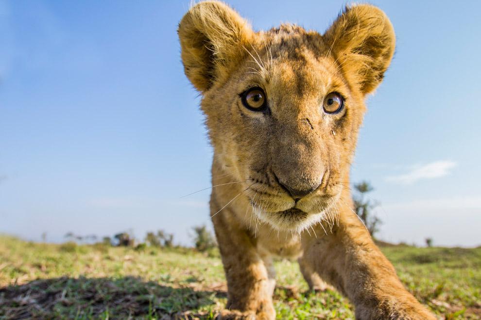 Львенок на равнинах национального парка равнины Люва в Замбии