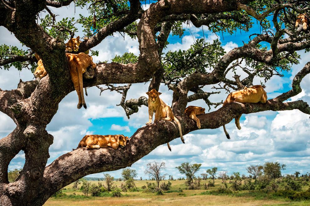 Семейство львов на дереве