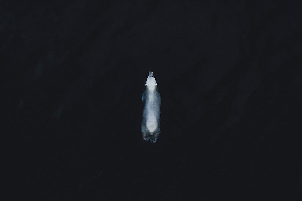 Необычный взгляд на белого медведя, Шпицберген, Норвегия