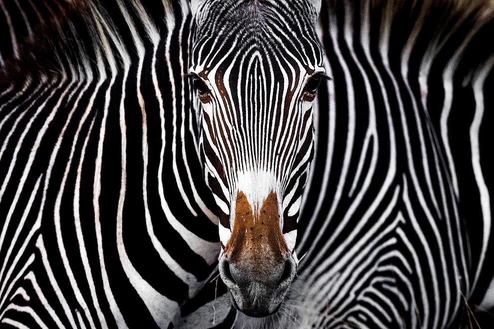Зебра Греви смотрит в камеру в Леве, Кения