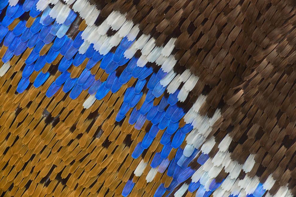 Голубая императорская бабочка под увеличением