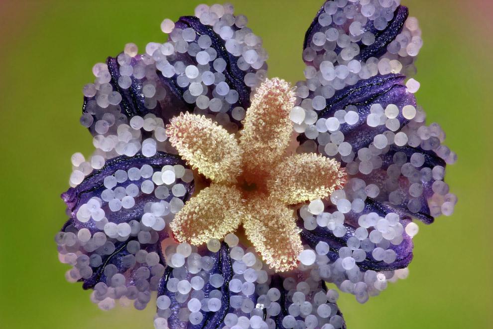 Растение герань geranium dissectum