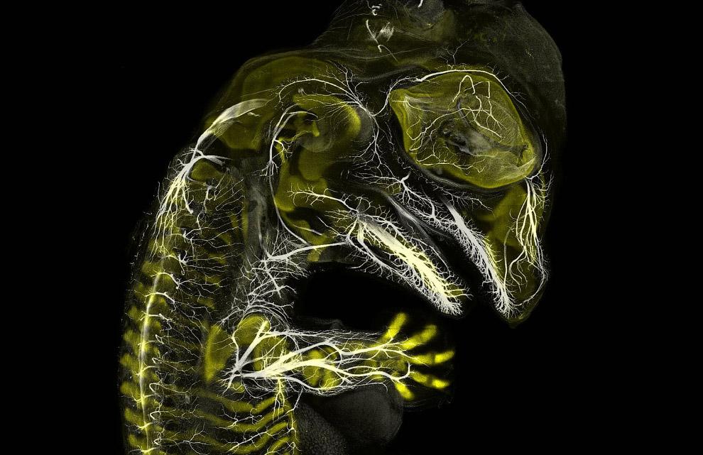 Эмбрион аллигатора