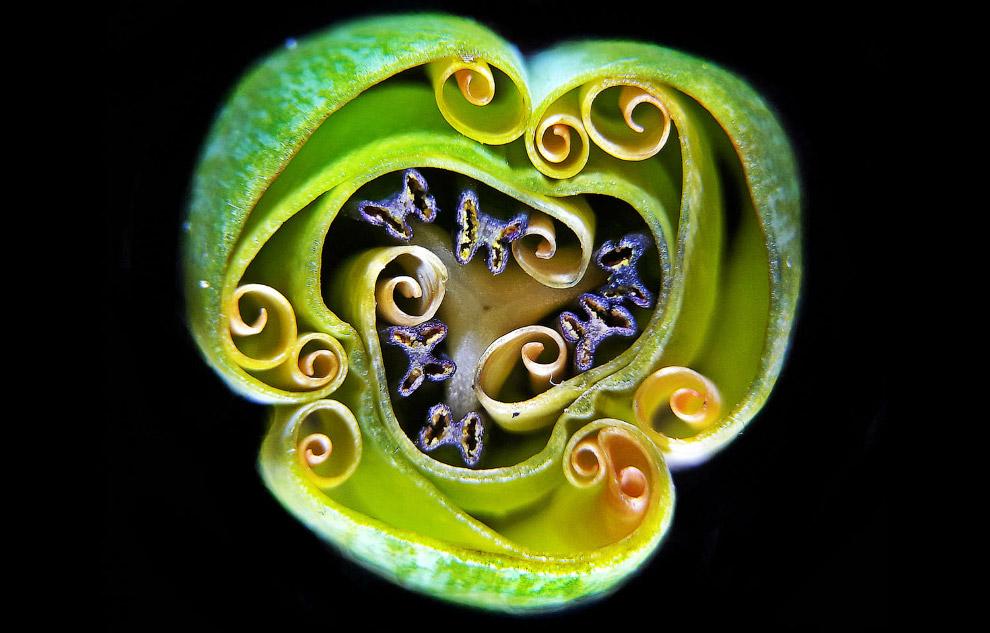 9 место: сечение тюльпана
