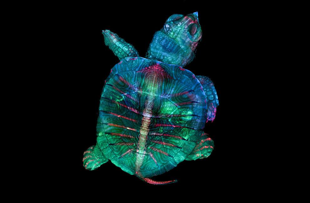Зародыш черепахи