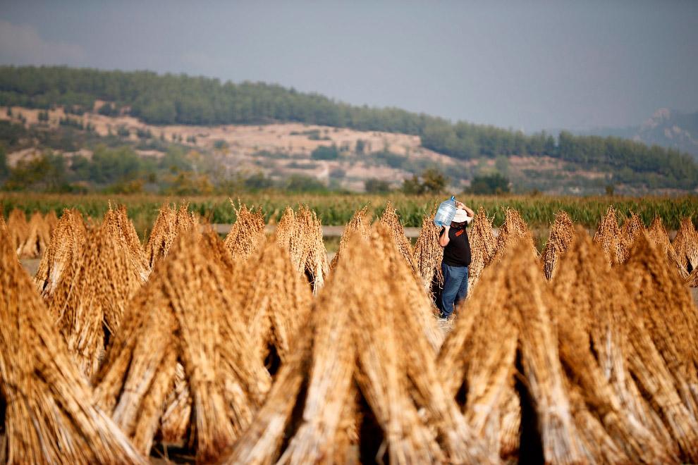 Фермеры собирают семена кунжута в Анталии, Турция
