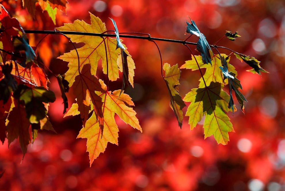 Красные и золотые кленовые листья, Франция
