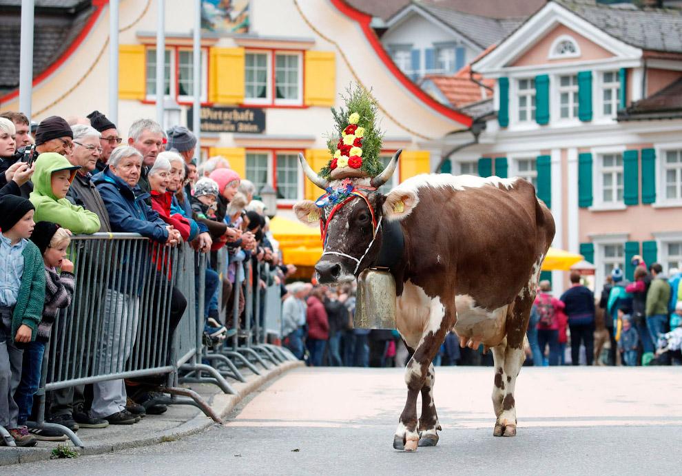 Осенний рынок крупного рогатого скота в Аппенцелле, Швейцария