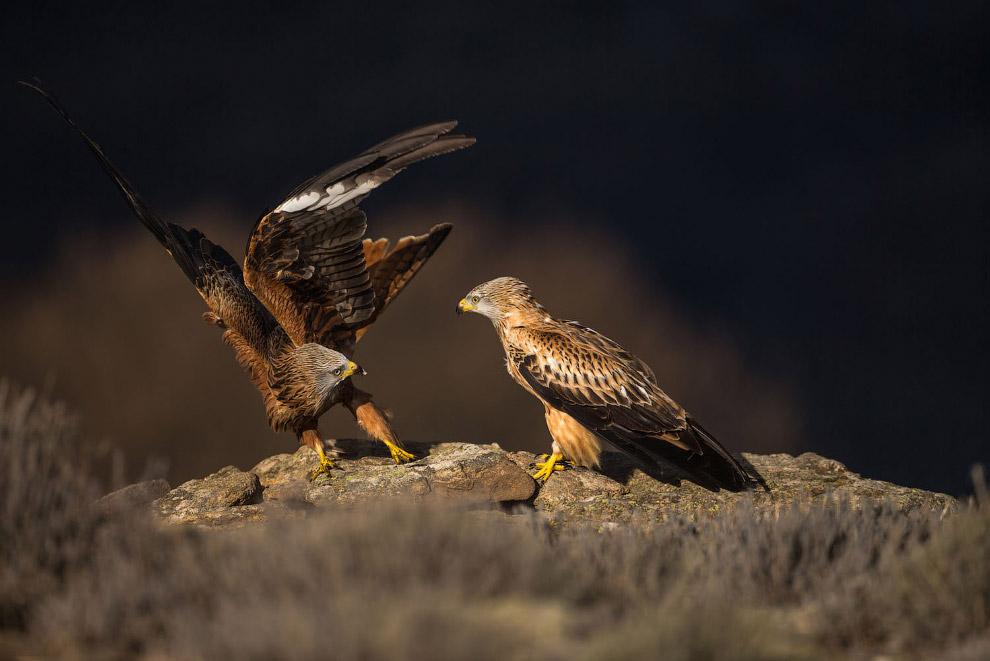 Разборки хищных птиц