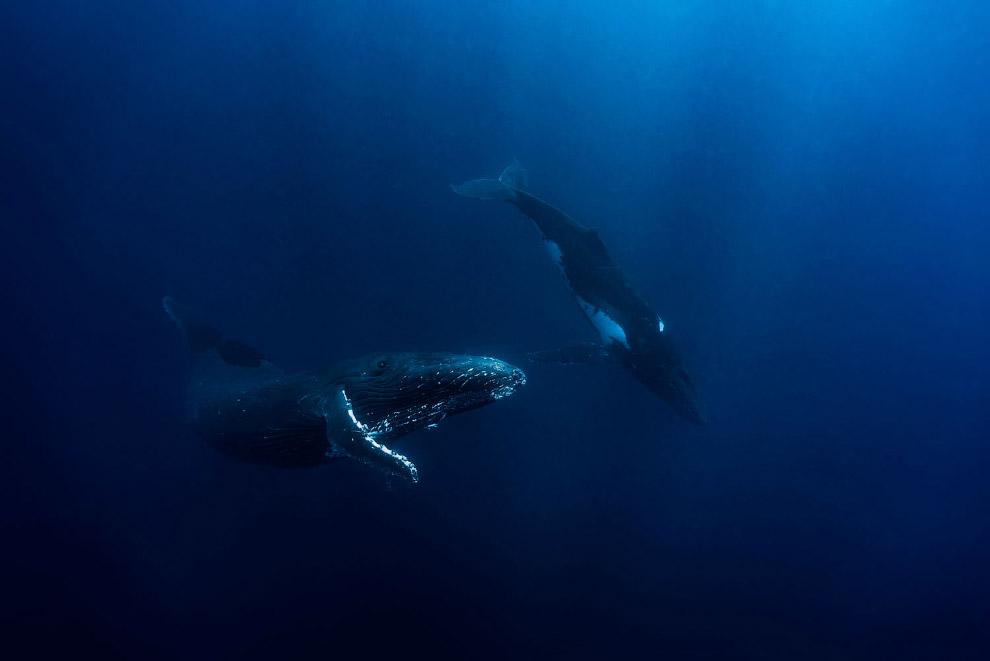 Горбатые киты в Тонге