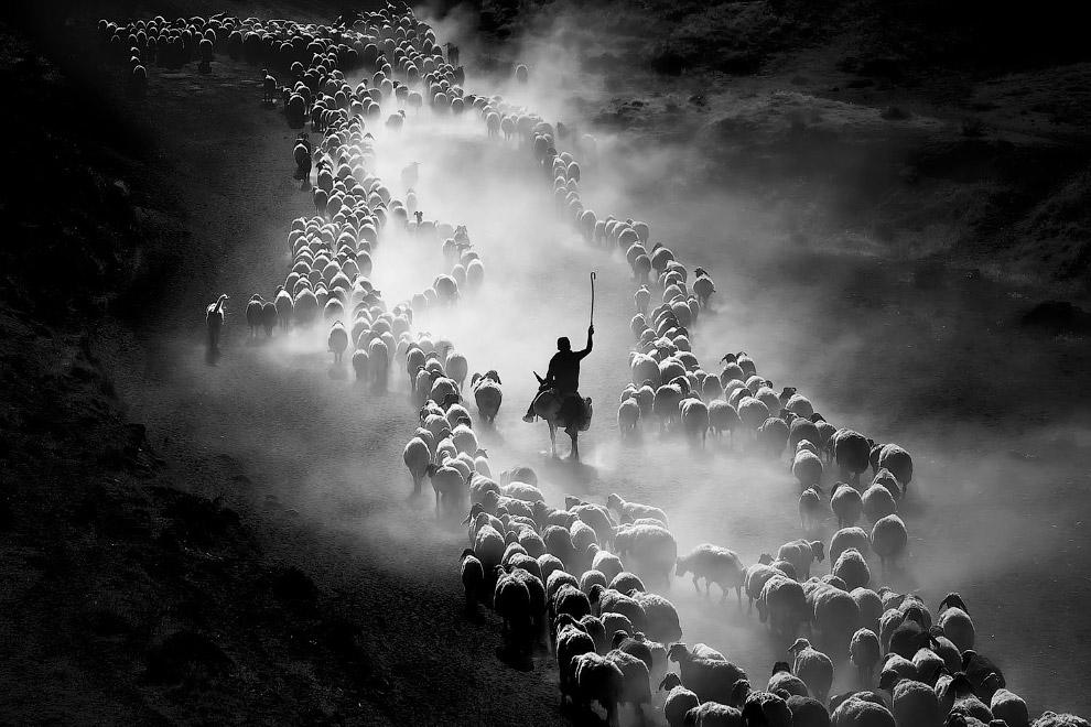 Стадо овец в Битлисе, Турция