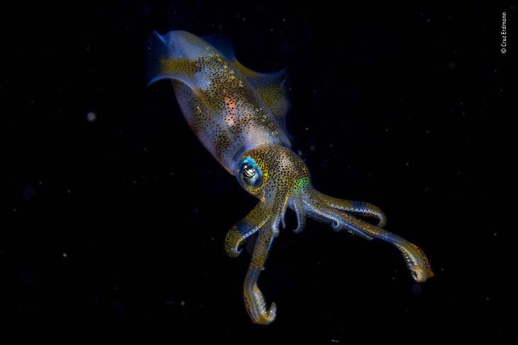 Рифовый кальмар