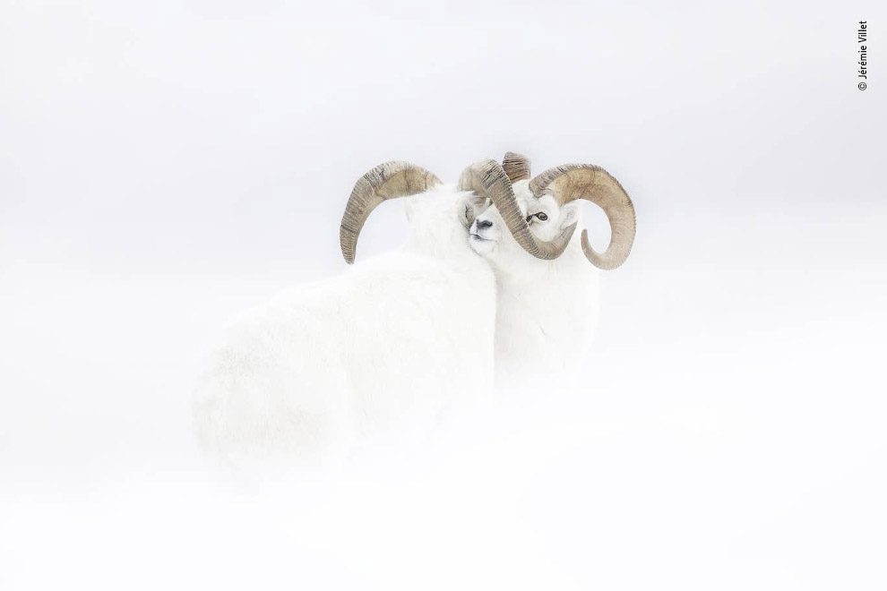 Баран Далла в снегу