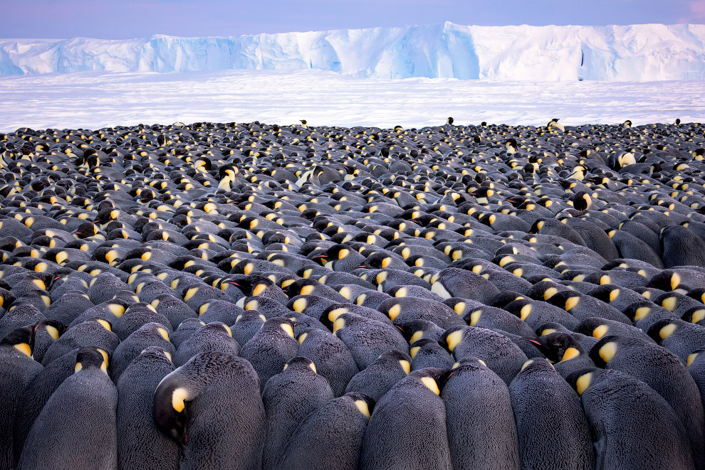 Зграя імператорських пінгвінів в Антарктиді