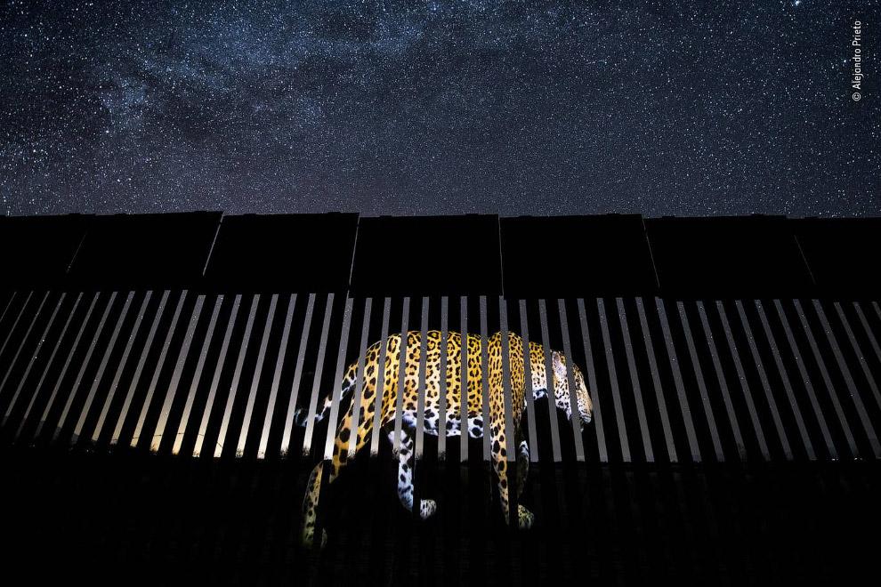Ягуар и забор на границе