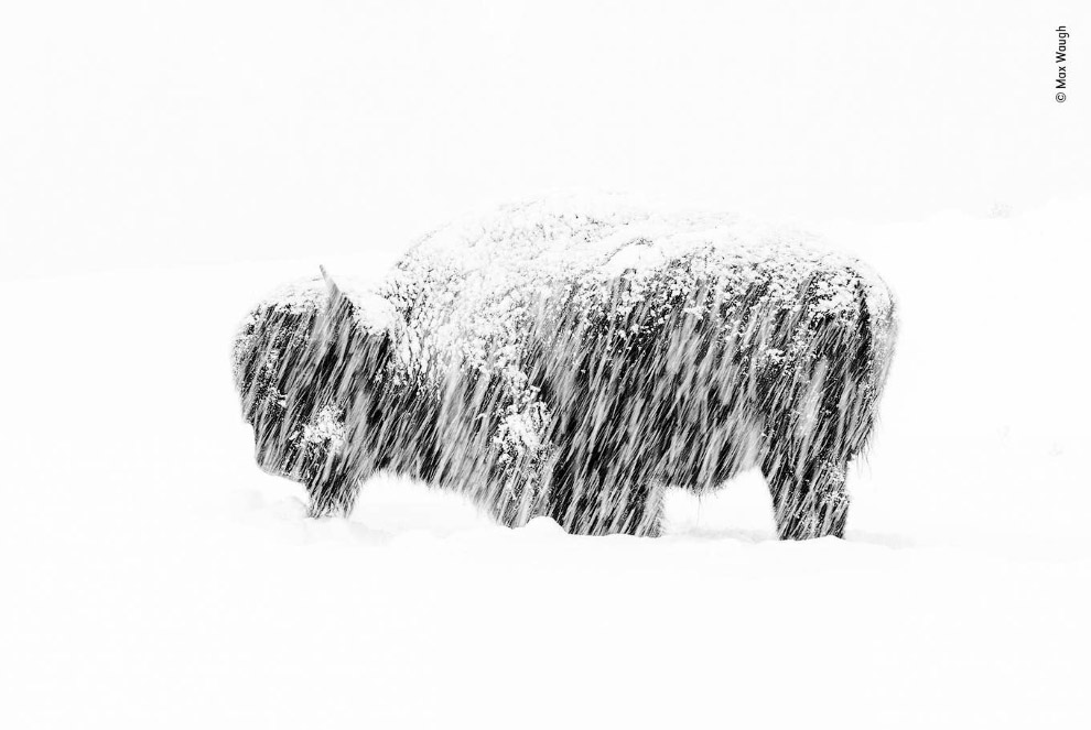 Снегопад в Йеллоустоне