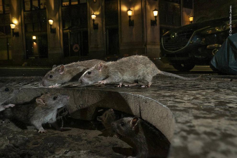 Крысы на улицах Манхэттена