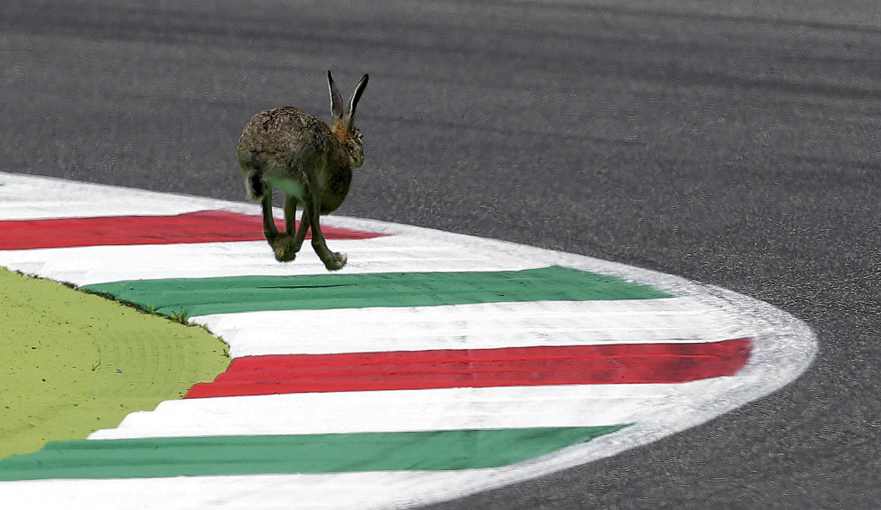 Rabbit on the track of Mugello, Italy