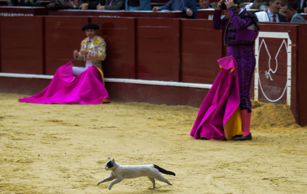 Cat ran out of the bullring in Bogota, Colombia