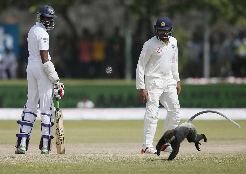 Обезьяна на поле по крикету в Галле, Шри-Ланка