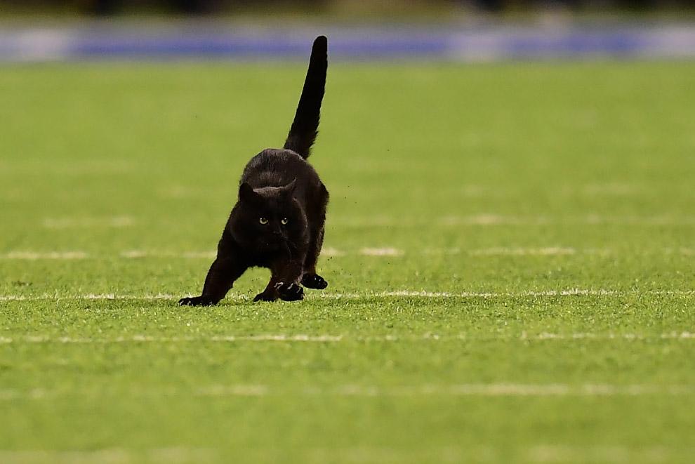 Роскошный черный кот на стадионе в Ист-Резерфорде, штат Нью-Джерси