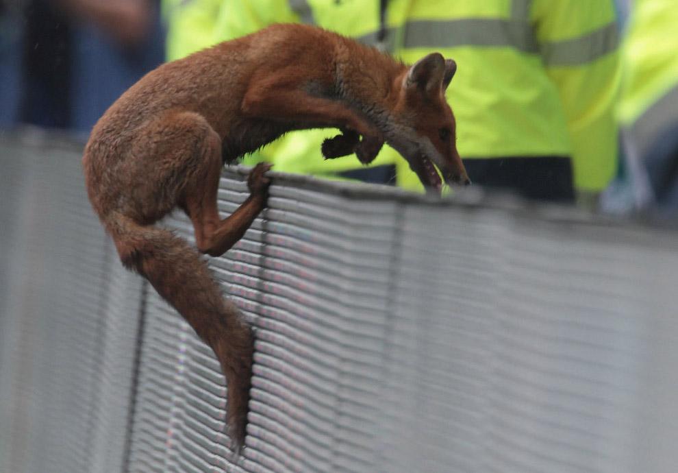 Fox on the field in London, England