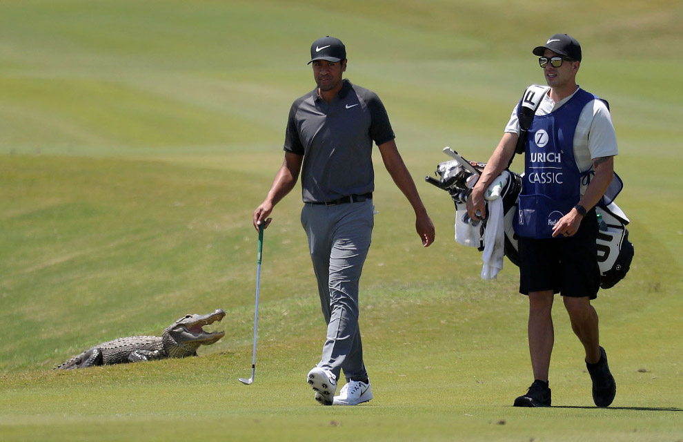 Alligator - not the best neighbor of the golf course in Louisiana