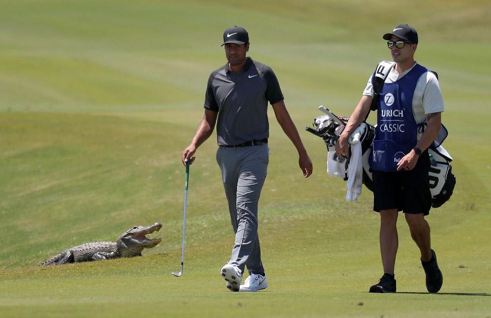 Аллигатор — не лучший сосед на поле для гольфа в Луизиане