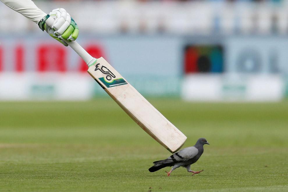 Голубь во время матча по крикету между Англией и Индией в Эдгбастоне, Англия