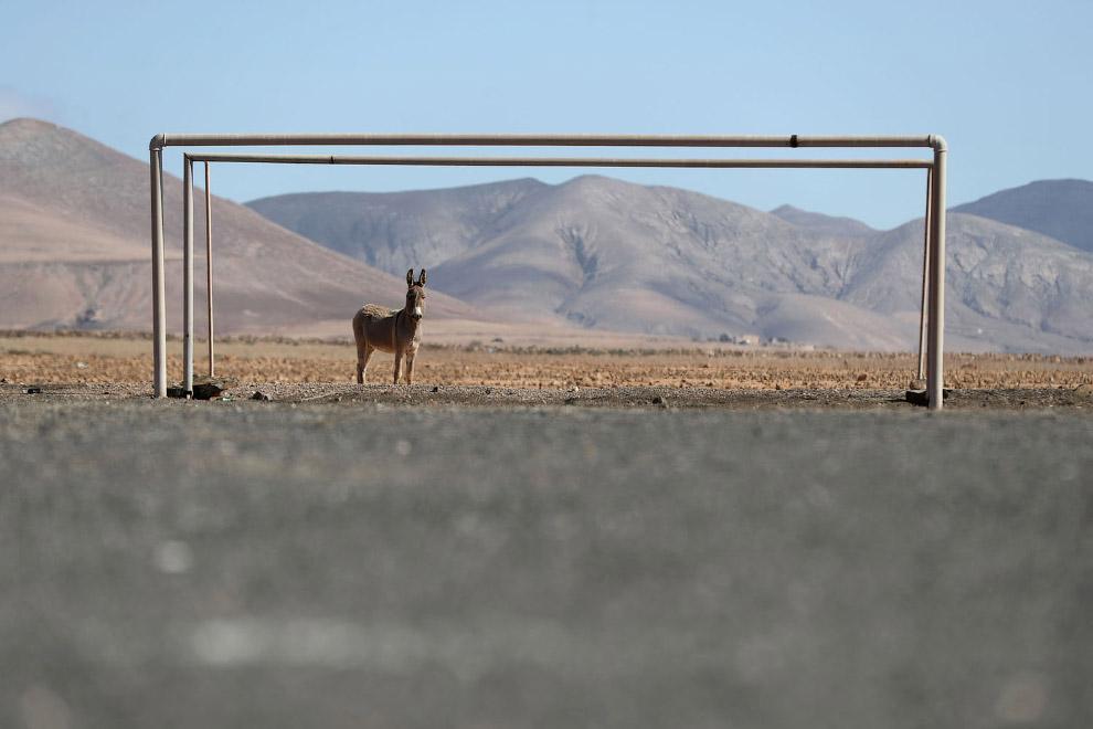 Вратарь-осел на футбольном поле возле деревни Лас-Парселас в Испании