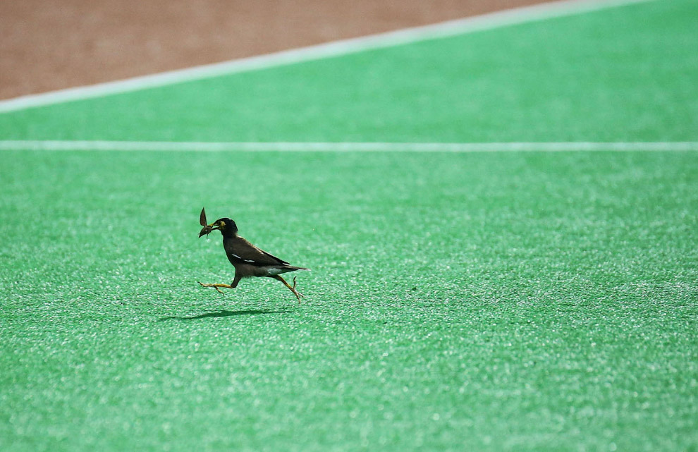 Locust Starling got hold of dinner on the field in Singapore