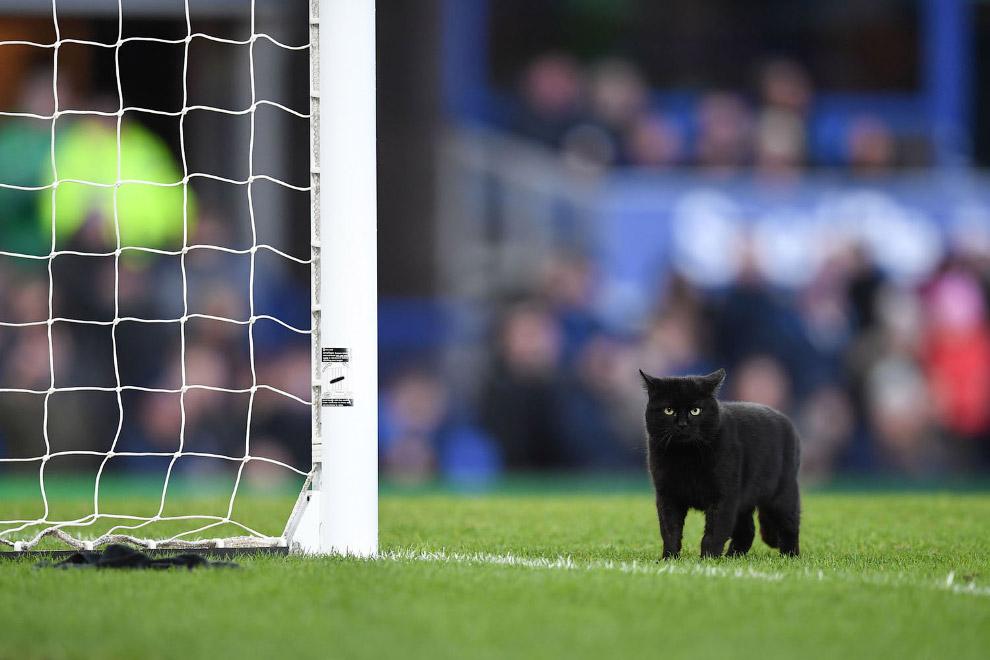 Черный кот во время футбольного матча английской Премьер-лиги