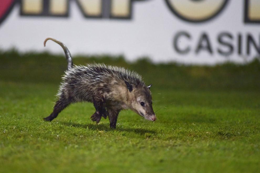 Possum at the stadium in Veracruz, Mexico