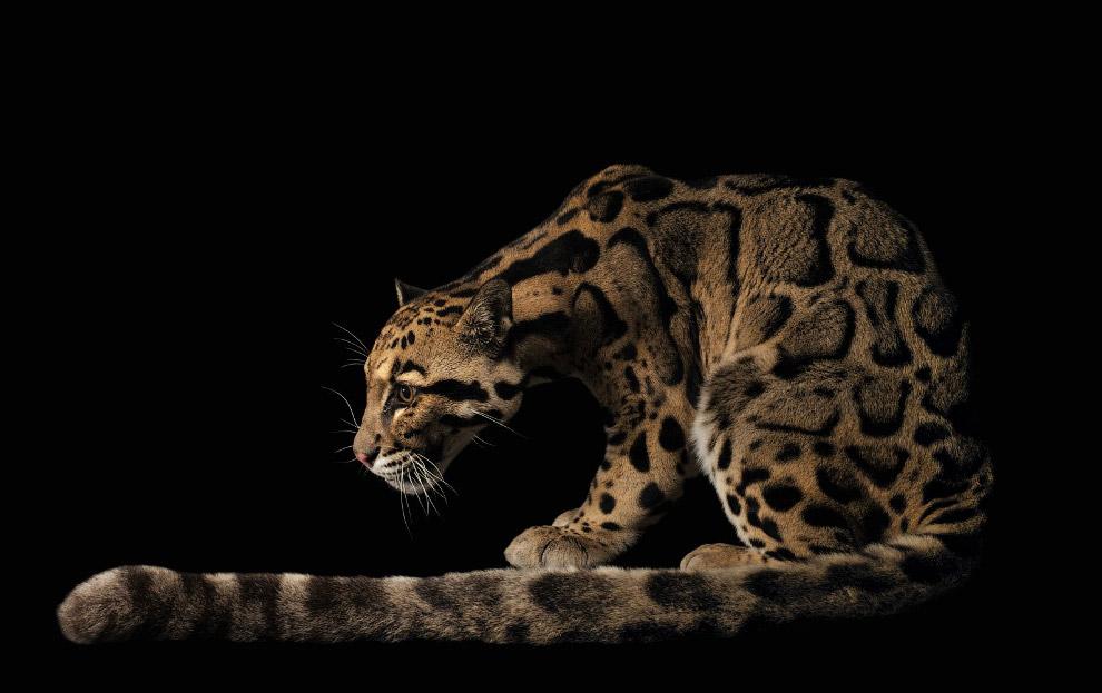 Дымчатый леопард, Neofelis nebulosa