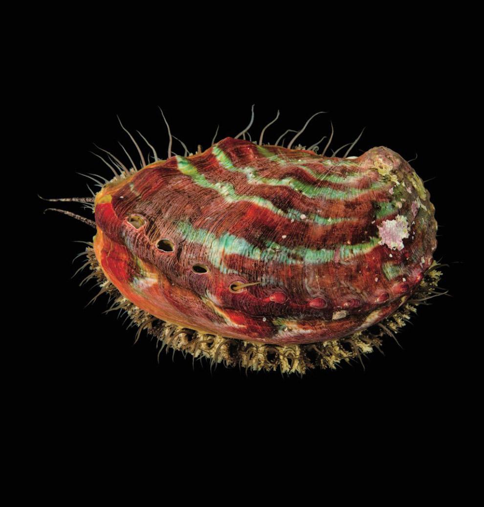 Галиотис Haliotis kamtschatkana (исчезающие, EN)