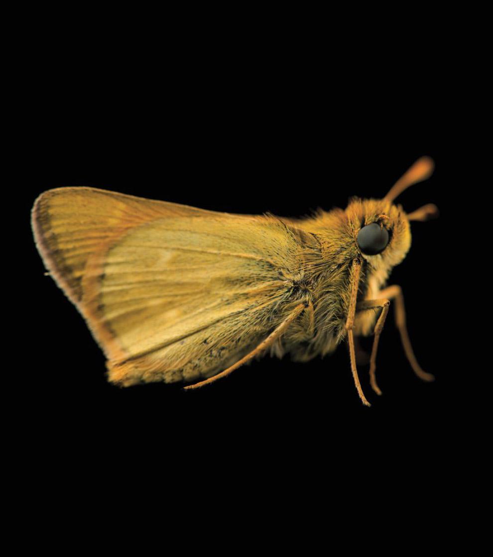 Толстоголовка, Hesperia dacotae (вразливі, VU):