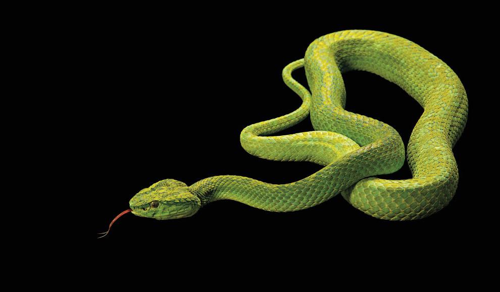 Чорно-зелений ботропс, Bothriechis marchi (зникаючі, EN):